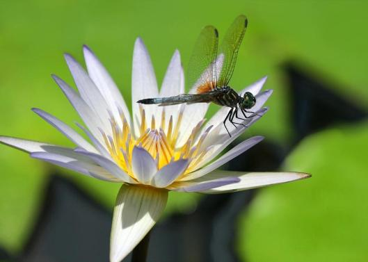 dragonfly-and-the-water-lily-sabrina-ryan