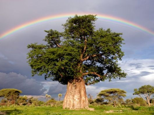 rainbow-tree-joubert_1499_600x450