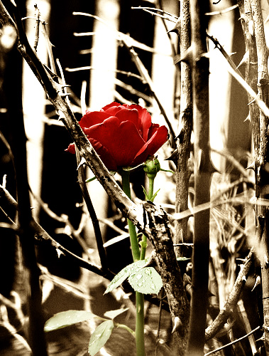 Red_Rose_Amung_Thorns_by_lina123450