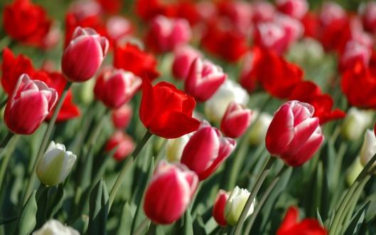 tulip_spring_flowers