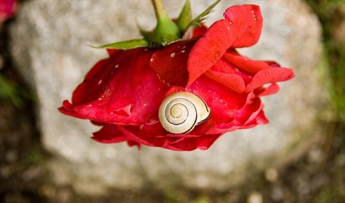 snail_on_a_rose