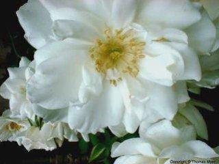 eDdyb3R0MTI=_o_stefan-hrusca---florile-dalbe--white-flowers-christmas-