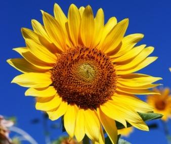 35_big - floarea-soarelui 1