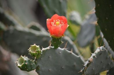 cactus-inflorit-01