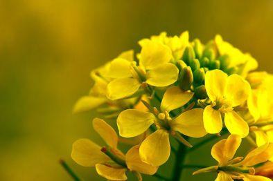 Esenta-de-flori-de-mustar