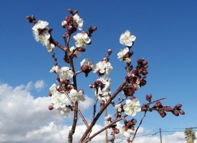 floare cais - 3