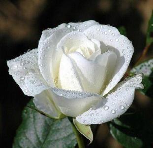 trandafir alb 1
