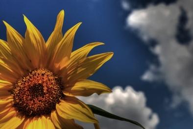 01_floarea_soarelui