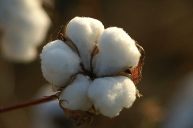 cotton-flower-bloom