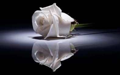 trandafir_alb