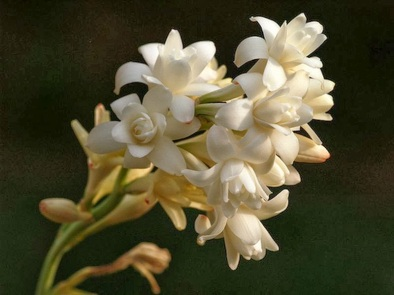 night blooming tuberose