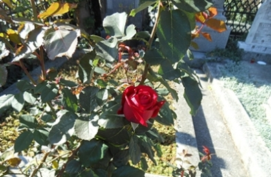 28-trandafir la mormant