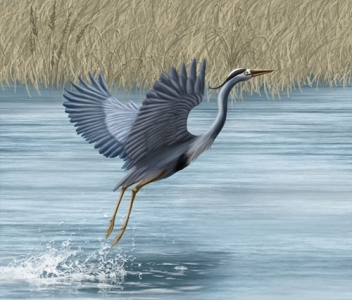 great_blue_heron_by_liliumarts-d63pp8j