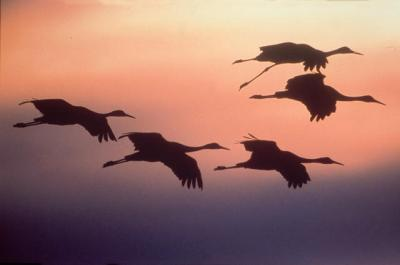 sandhill_cranes_flying_med
