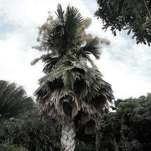palmierul-talipot