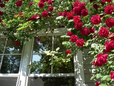 543516938_62f872c8a9_b-trandafir
