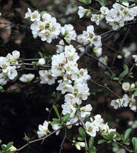 Flori-Gutui-Japonez