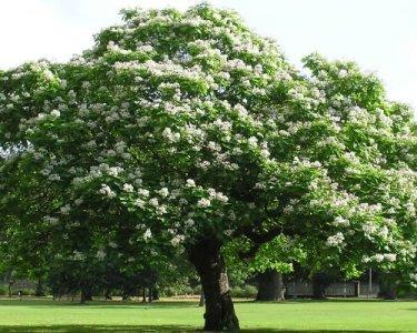 catalpa_arbore_foios_decorativ_gradina_arbore_florifer_Catalpa_bignonioides_3