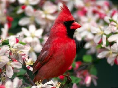 pasarea-cardinal_581400fec6d6c7
